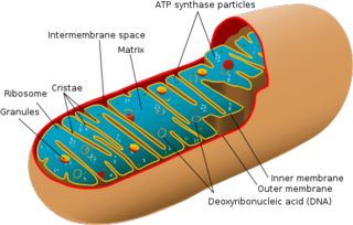 500px-Animal_mitochondrion_diagram_en_(edit).svg